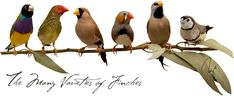 #finch The Varieties of Finches