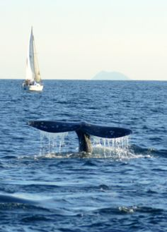Off the coast of San Diego, this is a California Gray Whale on it's annual Migration from Alaska to Baja California, Mexico with a sail boat and the Coronado Islands in the background.