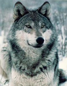 Close Up Wolves Wolf Photos, Wolf Pictures, Wolf Spirit, Spirit Animal, Beautiful Creatures, Animals Beautiful, Majestic Animals, Magical Creatures, Miguel Angel Garcia