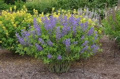 Mt. Cuba Center | Baptisia 'Blueberry Sundae' - Mt. Cuba Center