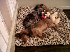 """""""Our dogs are not spoiled..."""" #petbeds #dachshunds #dogs"""