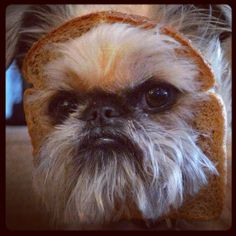 """a dog's head in bread"" saturdays, you're welcome #brusselsgriffon #livingewok"