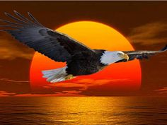 American Bald Eagle Flying at a Glorious Sunset. The Eagles, Wings Like Eagles, Bald Eagles, Eagle Images, Eagle Pictures, Cool Pictures, Eagle Wallpaper, Eagle Drawing, Eagle Wings