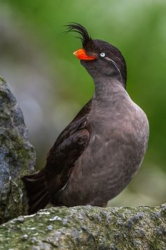 Crested Auklet by Sergey Ivanov on 500px
