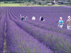 Hitchin Lavender (photos courtesy of Hitchin Lavender)