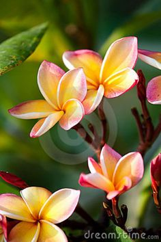 Frangipani Flores Fotografia de Stock Royalty Free - Imagem: 17731047