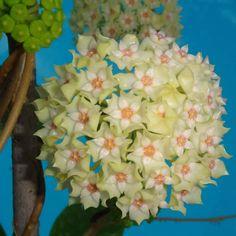 Hoya aff. parasitica 'Lao 2'