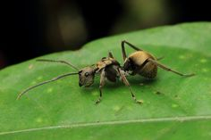 IMG_2477 Polyrhachis ant . | Flickr - Photo Sharing!