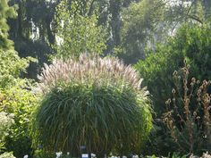 Beth Chatto Garden, Essex, UK. Miscanthus late September