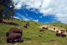 Free Image on Pixabay - Bison On Hillside, Bison, Herd Florida National Parks, National Park Camping, Shenandoah National Park, Yellowstone National Park, Washington Nationals Park, Free Pictures, Free Images, Bison, Wyoming