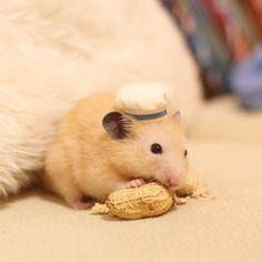 . The cook Nappa likes peanut so much🍳🐹💕 Duffy's cook hat fitted him😊💕 . ピーナッツ大好きなコックナッパ🍳🐹💕 ダッフィーのコック帽パーツを乗せたらちょうどぴったりなサイズでした😊💕 * * #ナッパ#nappa#ゴールデンハムスター#ハムスター#キンクマ#小動物#かわいい#ふわもこ部#癒し#펫스타그램#life#instacute#instapet#family#goldenhamster#syrianhamster#hamster#hammy#happy_pets#倉鼠#petscorner#pet#bestanimal#animal#adorable#awww#love#socute#cute#followme