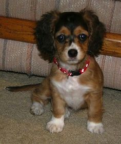 Chi-Spaniel (chihuahua and cocker mix) This is what my little Opal is but she looks so different... same face tho