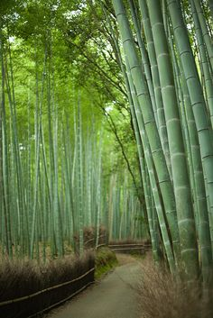 bamboo path of rural Japan, Sagano Bamboo Forest, Kyoto, Japan