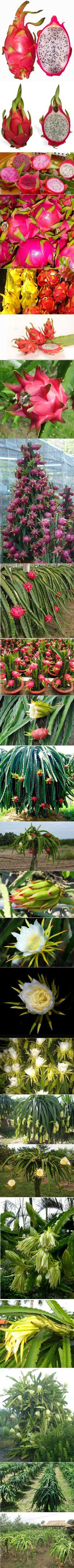 Dragon fruit. Hylocereus undatus. Red pitaya