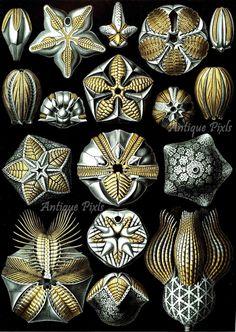 Blastoidea fossils Ernst Haeckel Scientific Illustration