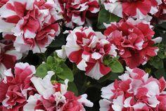 Todo con las flores: decorar, crear, degustar, cuidar...................: Petunias en cascada