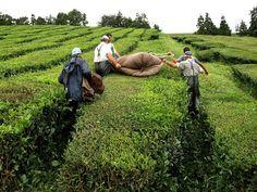 Cha Gorreana Tea Plantation, Sao Miguel, Azores Orange Pekoe Tea, Portugal, Places To Visit, Europe, Islands, Couple Photos, World, St Michael, Travel