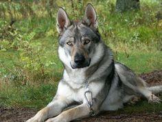 My wolf hybrid Lobo