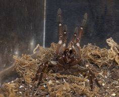 Goliath bird eater  One of the biggest spiders in the world, it preys on snakes, mice, and frogs but, despite the name, rarely birds.