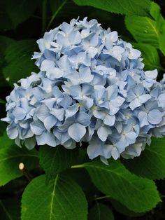 Blue Hydrangea - Pure Style Home - produced in acidic soils, add aluminum sulfate.