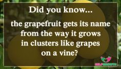 #ThursdayThoughts #thursdaymotivation #thursdaytreat #DidYouKnow  For more information about grapefruits: https://naturalhomeremediesguide.com/benefits-of-grapefruit-seed-extract/