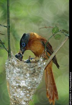 Madagascar Paradise Flycatcher - female - feeding young.