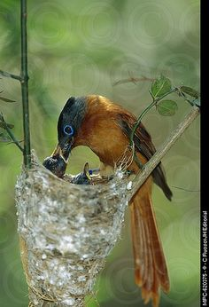 Madagascar Paradise Flycatcher - female - feeding young.