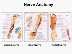 Nerves of the arm