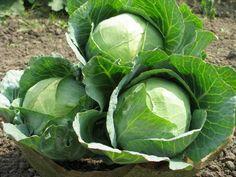 Технология выращивания белокочанной капусты в открытом грунте: от выбора сорта до сбора урожая