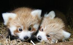 [Baby red pandas emerge for the first time.]