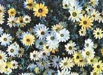 African Daisy is an annual with 2-4 inches wide daisy-like flowers, a native of South Africa. African Daisy comes in brilliant shades of white, yellow, and orange.