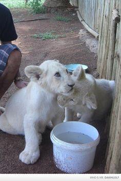 Little Lion Love <3