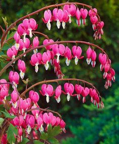 66. BLEEDING HEARTS Height to 2 feet, Attractive mounded foliage with arching stems of delicate, heart-shaped flowers in spring. Companion plants ferns and other shade-lovers. After the first killing frost, cut stems back to an inch or two above soil line.