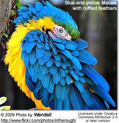 Blue and Gold Macaws (Ara ararauna): Info and Photos