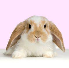 El conejo tiene dos tipos de dientes, los incisivos para cortar y los molares para triturar. Es importante saber que el crecimiento de sus dientes es continuo y es por ello que necesita utilizar los dientes intensamente para gastarlos, de aquí la necesitad de tener siempre heno a su disposición.