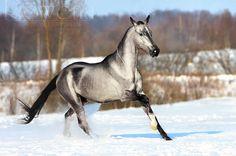 Wow, beautiful grey Akhal Teke.