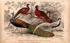 Rare Antique Peacock Pheasant Bird Species by TheLotAntiquesandArt
