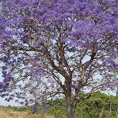 Brazilian cerrado - quaresmeira tree