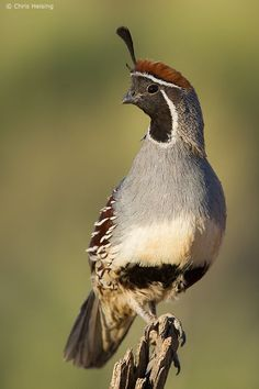 A male Gambel's quail watches for predators while his chicks feed. © Chris Heising