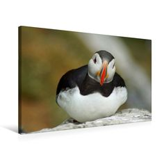 #Papageitaucher #Puffins #Vögel #Landschaften #BabettsBildergalerie Animals, Little Birds, Animal Themes, Canvas Frame, Diving, Landscapes, Canvas, Animales, Animaux