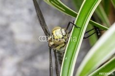 #Blue #Hawker #Dragonfly #Closeup @fotolia @fotoliaDE #fotolia #dragonfly #macro #nature #insects #details #outdoor #season #spring #summer #wings #stock #photo #portfolio #download #hires #royaltyfree