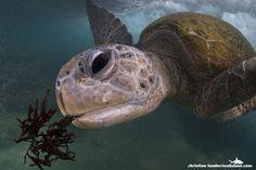 Green Turtle feeding on seagrass (Hikkaduwa, Sri Lanka-1 by Christian Loader on Flickr).
