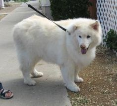 CL Shylow is an adoptable Samoyed Dog in Prescott, AZ. CL- Shylow s Contact Info *** Questionnaire *** Fill-in Form WORD Form PDF Form please download the questionnaire, fill it out and email it to ....