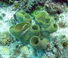 Callyspongia vaginalis [Florida Keys, United States]