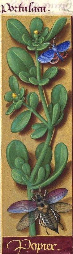 """Popier - Portulaca (Portulaca oleracea L. = pourpier -- Au XVIe siècle, on rencontre la graphie """"pourpied"""", qui laisse mieux voir l'origine latine """"pulli pes"""") -- Grandes Heures d'Anne de Bretagne, BNF, Ms Latin 9474, 1503-1508, f°106v"""