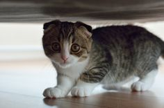 Animals___Cats_Small_Scottish_Fold_cat_under_the_bed_045492_.jpg (4928×3264)