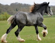 Shire Horse Young Stallion, showing the beginnings of the fade to dapple grey, and eventually white!
