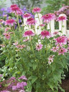 "Square Garden - Echinacea purpurea 'Pink Double Delight' (Coneflower): 24-30"""