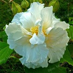 Mixed colors Hibiscus Seeds China's flower seeds Hibiscus Rosa Sinensis Seeds Giant Tree Seeds bonsai plant home garden Hibiscus Flowers, All Flowers, Amazing Flowers, White Flowers, Beautiful Flowers, Beautiful Butterflies, Tropical Garden, Tropical Plants, Hibiscus Rosa Sinensis