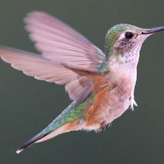 Hummingbird - Very dainty and delicate, pale pastel colors also show this as well.